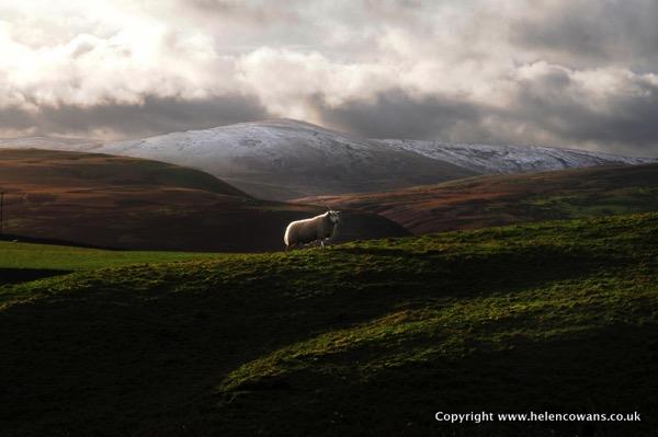 Beamish Valley Sheep